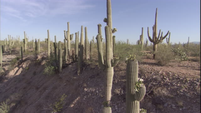 Track past Saguaro cacti in the Sonoran Desert. Available in HD.