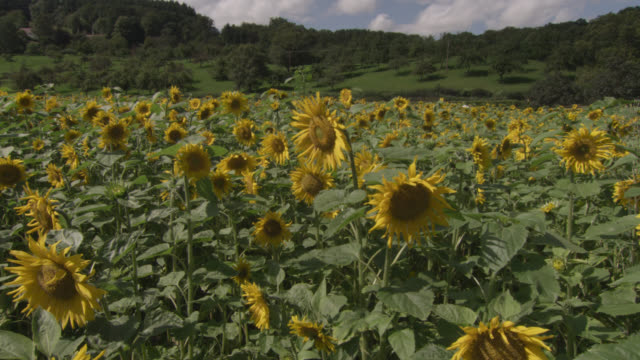 stockvideo's en b-roll-footage met track past sunflowers (helianthus) in field, worcestershire, england - zonnebloem