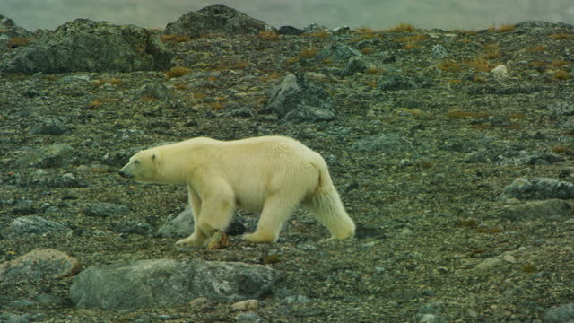 ws track polar bear walking along rocky shoreline with debris in foreground - スヴァールバル諸島およびヤンマイエン島点の映像素材/bロール