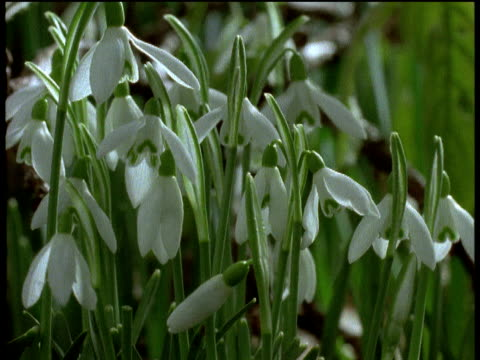 track right across field of snowdrops opening and closing, with focus pull - snowdrop stock videos and b-roll footage