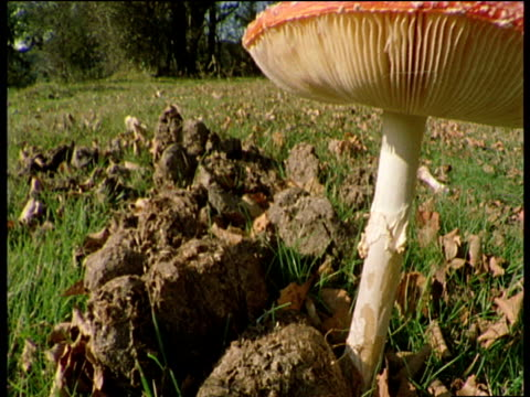 track right across field to fly agaric fungi, cut to underside gills of fungi - fungus part stock videos and b-roll footage