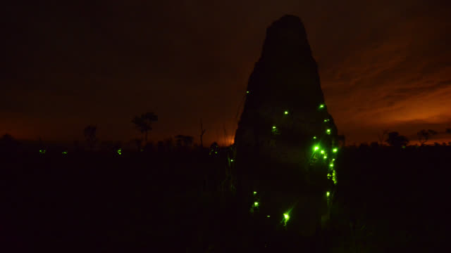 Track right around termite mound lit up by bioluminescent beetle larvae (Pyrophorus nyctophanus).