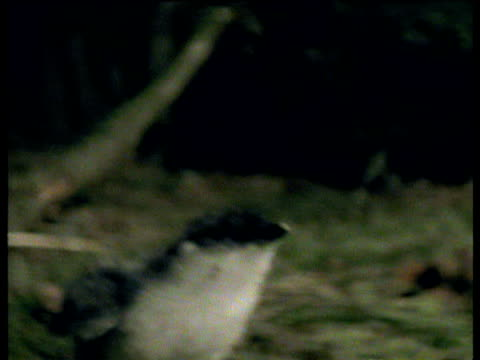 track right as ancient murrelet chick runs frantically through forest at night, aleutian islands - aleutian islands stock videos and b-roll footage