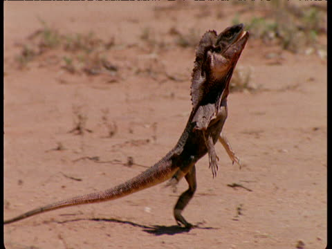 track right as frilled lizard runs on hind legs in australian desert. - lizard stock videos and b-roll footage