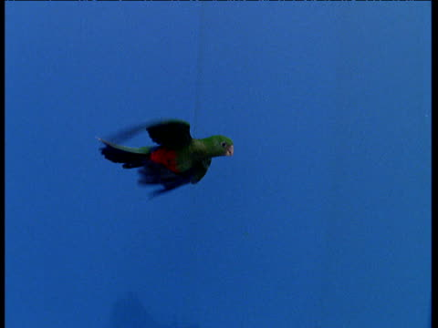 track right as two king parrots fly against blue background. - skal plantdel bildbanksvideor och videomaterial från bakom kulisserna