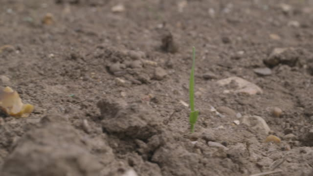 track right onto a single shoot growing from earth on a uk farm. - soil stock videos & royalty-free footage