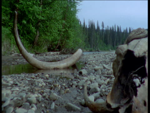 track right over fossil mammoth tusk and musk ox skull, fairbanks, alaska - 動物の骨点の映像素材/bロール