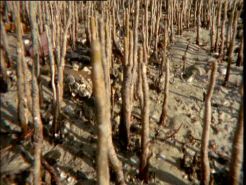 vídeos y material grabado en eventos de stock de track right past exposed mangrove breathing roots at low tide, broome, western australia - marea baja