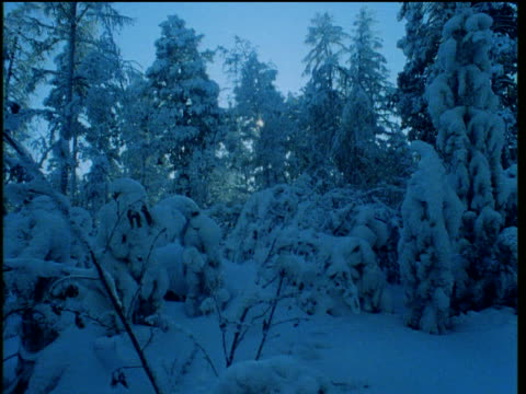 vídeos de stock e filmes b-roll de track right though very snowy northern pine forest, heavy snow covers tree branches and plants, sun rises though trees in background causing blue shadows on snow, canada - pine