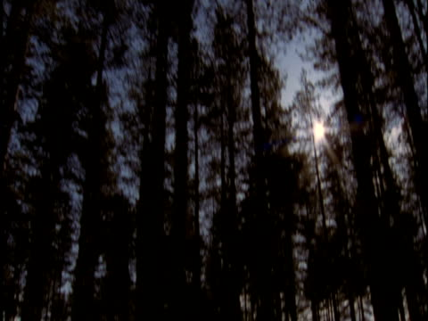 track right through pine forest thetford uk - イーストアングリア点の映像素材/bロール