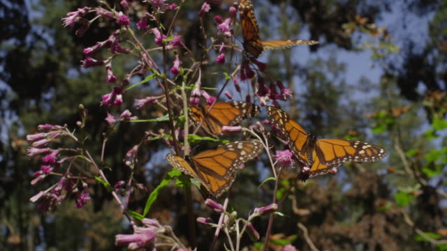 track round 4 monarch butterflies on milkweed plant - vier tiere stock-videos und b-roll-filmmaterial