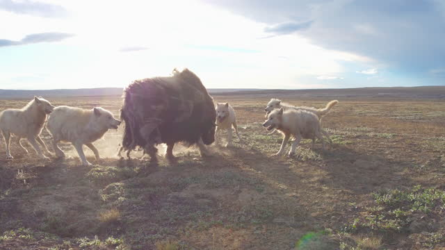track round 5 arctic wolves attacking adult musk ox - medium group of animals stock videos & royalty-free footage