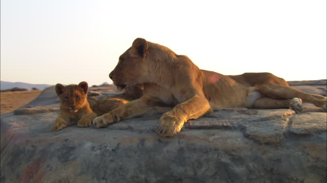 Track round African lioness and 2 cubs lying on rock in evening light