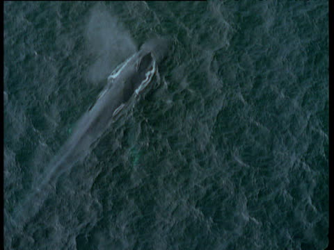 track round blue whales surfacing, california - surfacing stock videos & royalty-free footage