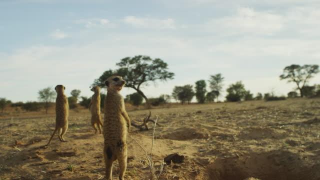 vídeos de stock e filmes b-roll de track round group of meerkats then with them as they run away - criação animal