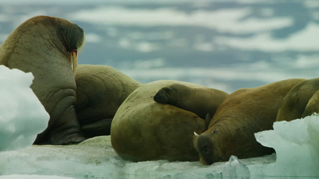 track round group of walrus with calf resting on ice floe - kalb stock-videos und b-roll-filmmaterial