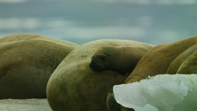cu track round group of walrus with calf resting on ice floe - kalb stock-videos und b-roll-filmmaterial