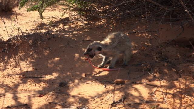vídeos y material grabado en eventos de stock de track round meerkat eating large earthworm and beetle then running away - hurgar en la basura