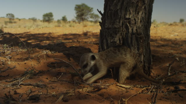 track round meerkat foraging and eating a seed at base of tree - foraging stock videos & royalty-free footage