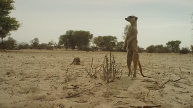 stockvideo's en b-roll-footage met track round meerkat standing upright and looking around then moving off - waakzaamheid