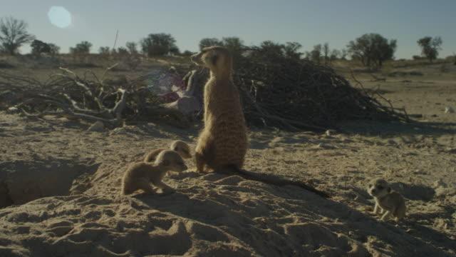 vídeos y material grabado en eventos de stock de track round meerkat with 3 pups sitting upright by burrow - cuatro animales
