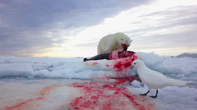 track round polar bear eating blubber from seal on ice floe with ivory gull in foreground - survival stock videos & royalty-free footage