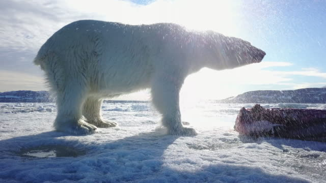 ms track round polar bear eating fresh seal on ice floe then shaking dry - wet stock videos & royalty-free footage