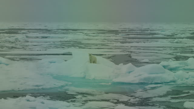 ws track round polar bear lying on ice flow then standing and looking around - スヴァールバル諸島およびヤンマイエン島点の映像素材/bロール