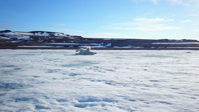 track round polar bear rolling around on sea ice - rolling stock videos & royalty-free footage