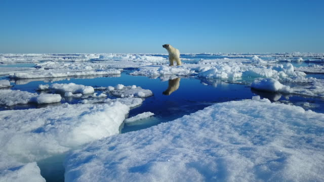 ws track round polar bear standing on ice floe and sniffing the air - searching stock videos & royalty-free footage