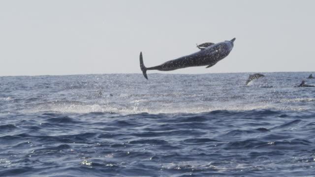 slomo ms track spinner dolphin leaping and spinning 4 times with remora fish attached - sugfisk bildbanksvideor och videomaterial från bakom kulisserna