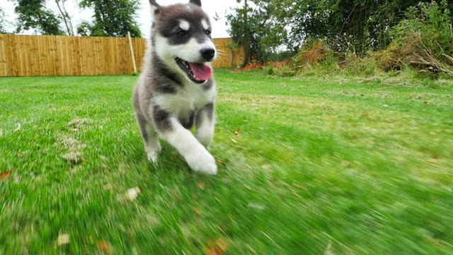 stockvideo's en b-roll-footage met slomo track tamaskan pups close to lens running to camera in garden - drie dieren