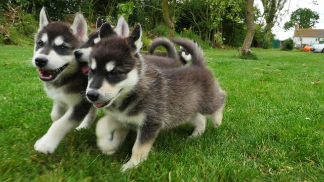 slomo track tamaskan pups close to lens running to camera in garden - 子犬点の映像素材/bロール