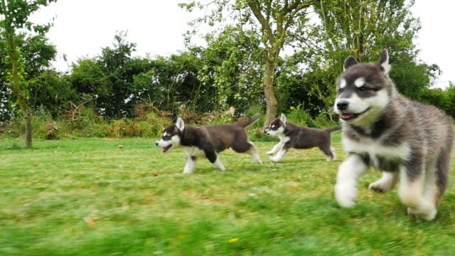 SLOMO track Tamaskan pups running in profile in garden