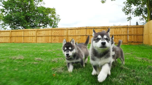 slomo track tamaskan pups running to camera in garden - 子犬点の映像素材/bロール