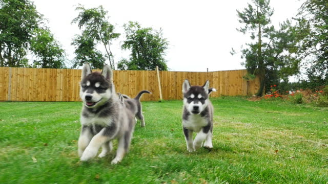 slomo track tamaskan pups running to camera in garden - hundeartige stock-videos und b-roll-filmmaterial