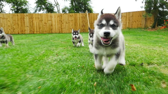 slomo track tamaskan pups running to camera in garden - vier tiere stock-videos und b-roll-filmmaterial