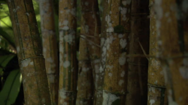 vidéos et rushes de track through bamboo (bambusa vulgaris) culms in forest, madagascar - tige d'une plante