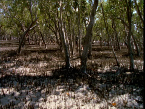 track through exposed mangrove breathing roots at low tide, broome, western australia - ebbe stock-videos und b-roll-filmmaterial