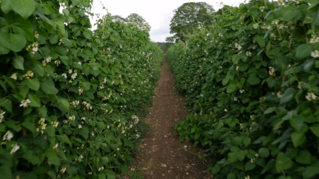 track through flowering runner bean crop, uk - bean stock videos & royalty-free footage