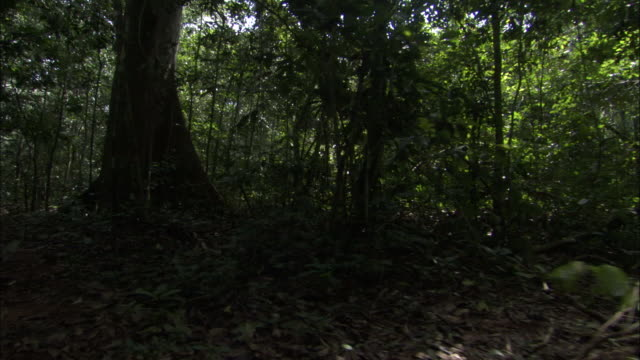 Track through forest, Central African Republic