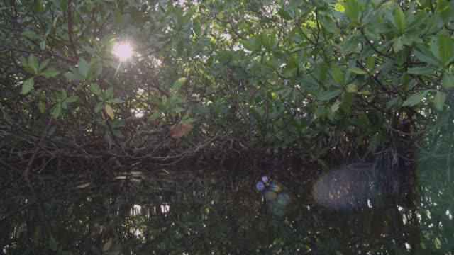 track through mangrove swamp, belize - albero tropicale video stock e b–roll