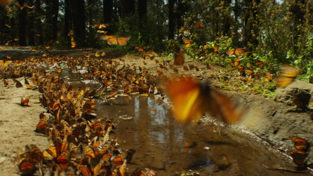 track through massed monarch butterflies taking off pools on from forest path - farfalla monarca video stock e b–roll