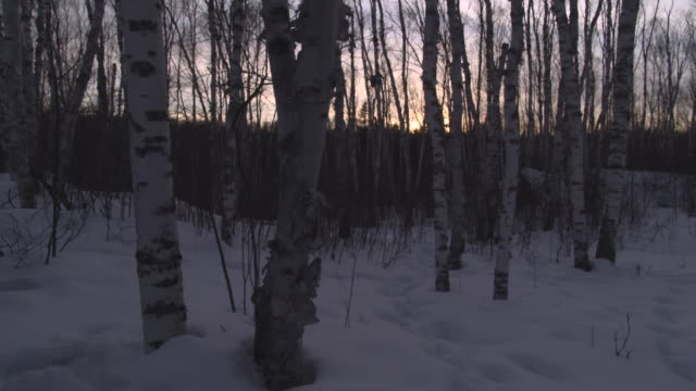 track through paper birch trees in forest, usa - forest stock videos & royalty-free footage