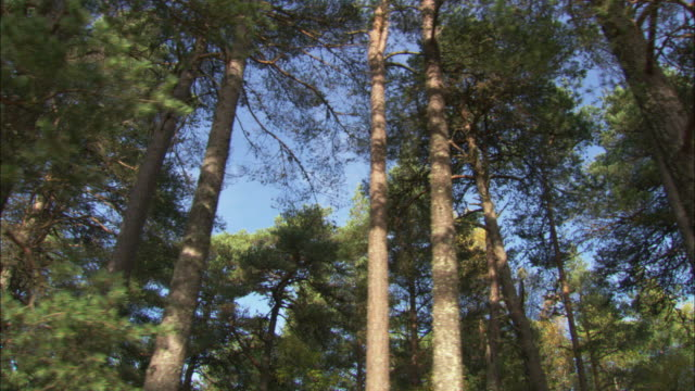 "stockvideo's en b-roll-footage met track through pine trees in forest, scotland, uk - ""bbc natural history"""