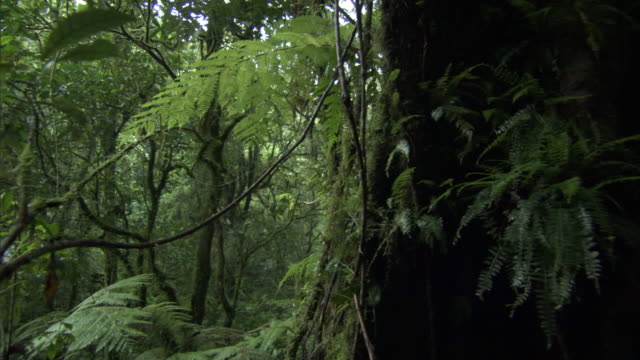 track through rainforest, mount rungwe, tanzania - dicksonia antarctica stock videos & royalty-free footage