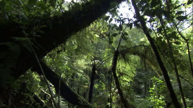 track through rainforest to tree ferns (cyathea sp.), mount rungwe, tanzania - dicksonia antarctica stock videos & royalty-free footage
