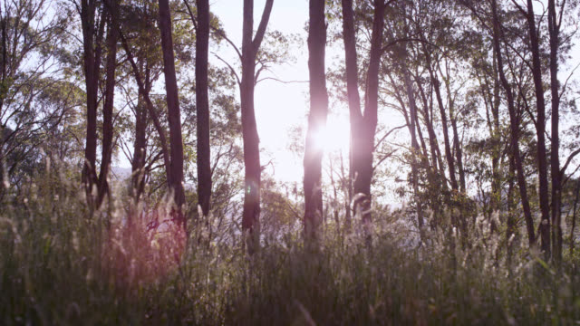 vídeos de stock e filmes b-roll de track through sunny woodland, australia - arvore