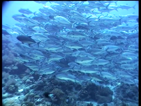 wa track to and through jack fish shoal hovering over reef, layang layang, malaysia - jack fish stock videos and b-roll footage