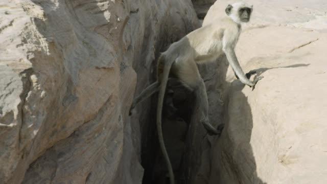 vidéos et rushes de track to grey langur monkey (semnopithecus dussumieri) emerging from crevice, jodhpur, india - crevice